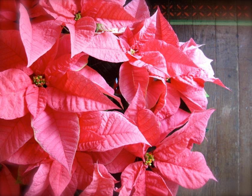 Poinsettias2