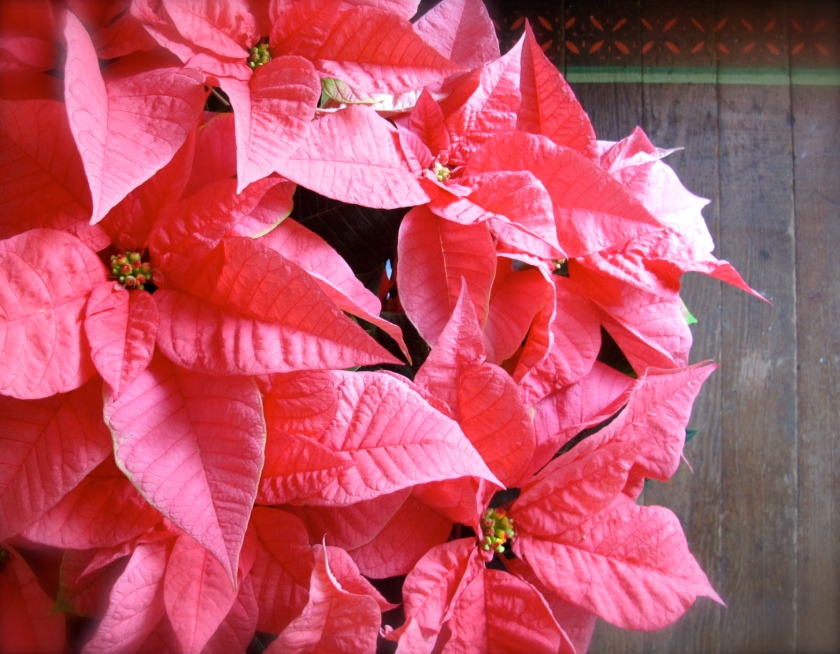 Poinsettias2