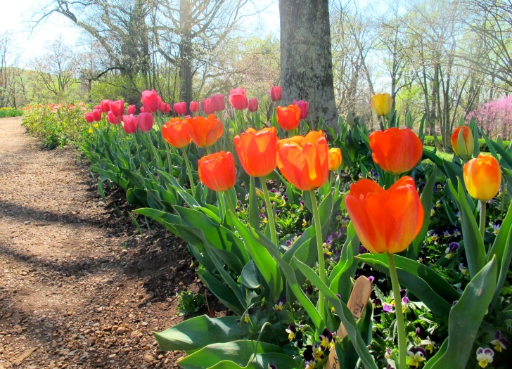MonticelloTulips