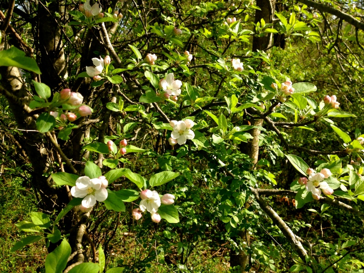SpringAppleBlossoms