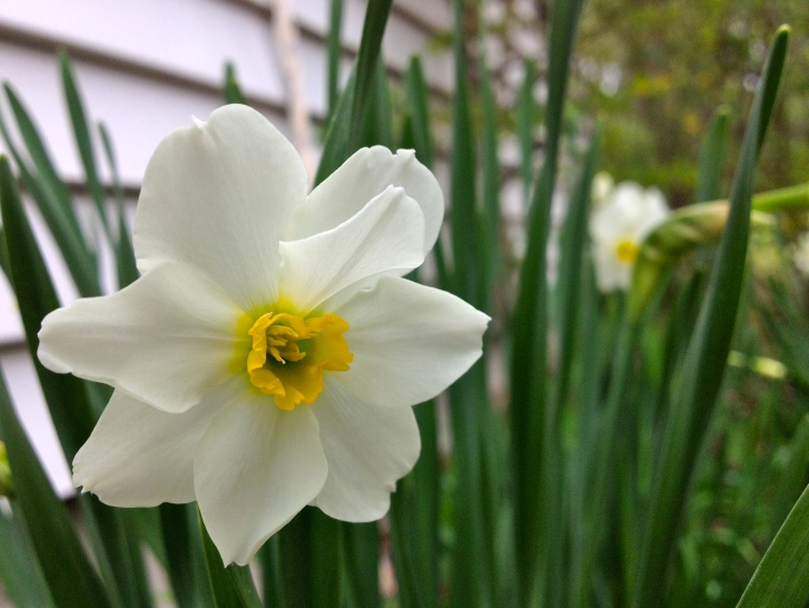 NarcissusDaffodil